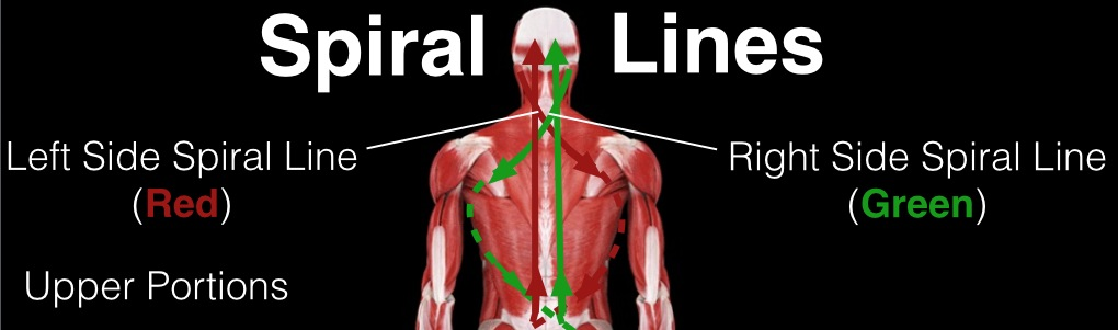 Spiral Lines in Scoliosis (Upper Portions)